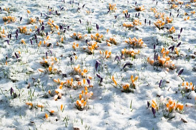 crocus flowers in snow Stock Photo