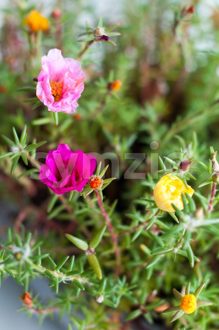 Mixed Portulaca Stock Photo
