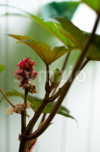 Castor oil plant Ricinus communis Stock Photo