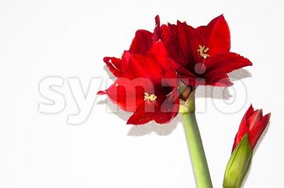Red amaryllis greeting card Stock Photo