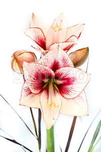 Abstract photo of a white and red amaryllis flower Stock Photo
