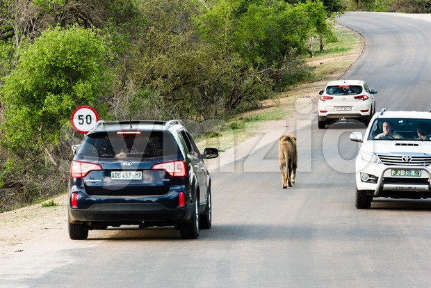 Kruger National Park, South Africa - November 27, 2016: Tourists stopping their cars to view a lion walking on a ...