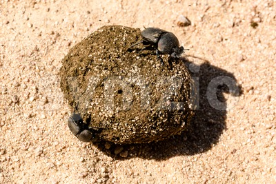 Dung beetles rolling their ball Stock Photo