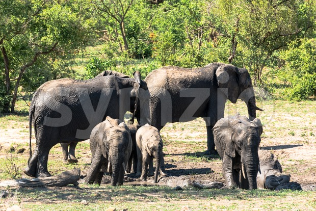 African elephants taking mud bath Stock Photo
