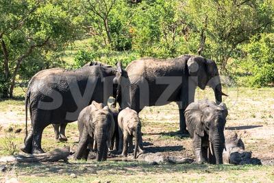 African elephants taking mud bath Stock Photo