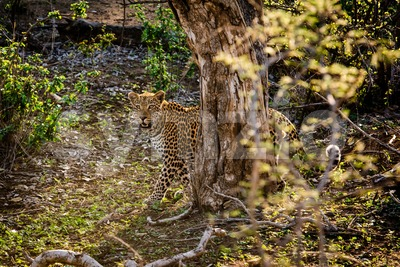 Powerful male leopard stare Stock Photo