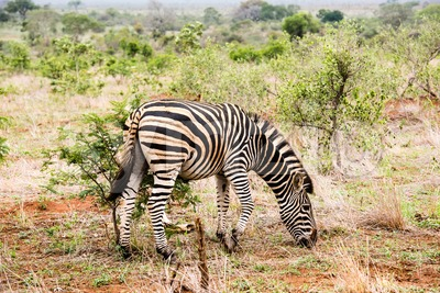 A zebra with alittle bird on its back Stock Photo
