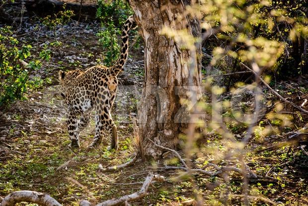 Powerful male leopard Stock Photo