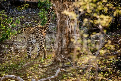 Powerful male leopard Stock Photo
