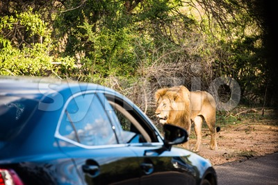 Lion Encounter Stock Photo