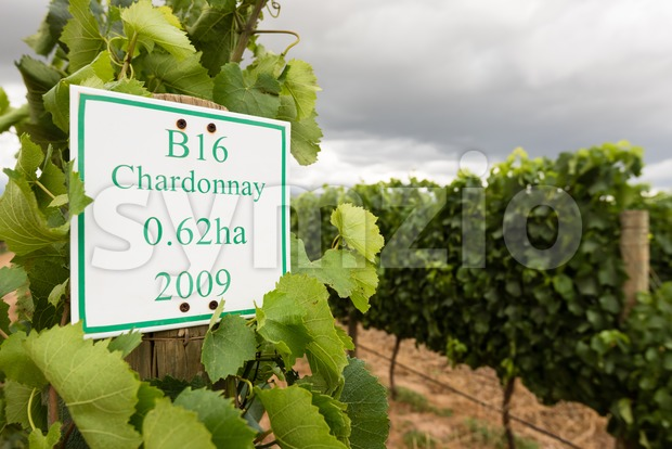 Youung Chardonnay grapes in a wineyard around Stellenbosch in South Africa