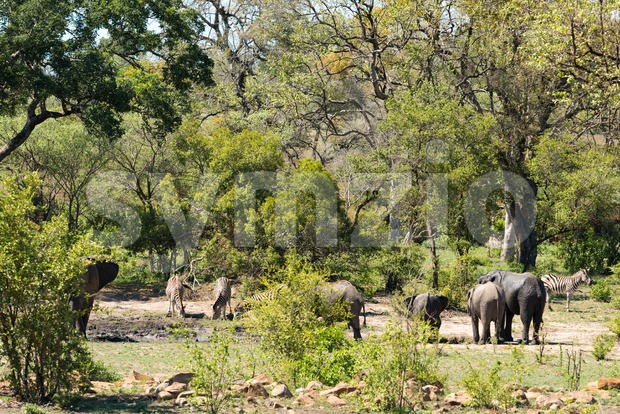 African elephants and zebras at a waterhole Stock Photo