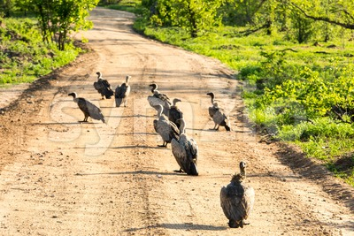 White-backed vultures feeding on carrion Stock Photo