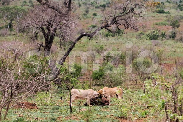 Two lionesses at the kill Stock Photo