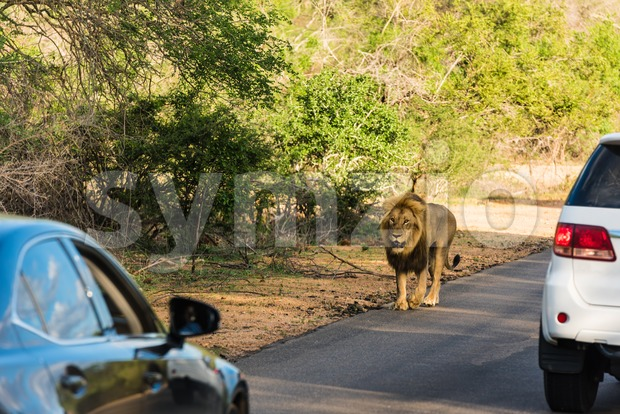 Lion sighting in the Kruger National Park Stock Photo