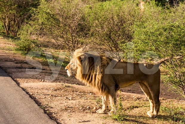 Side view of a Lion standing besides the road at sunrise at the Kruger National Park in South Africa.