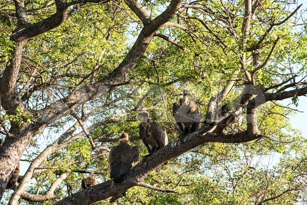 White-backed vultures (Gyps africanus) sitting and looking for carrion on a tall tree