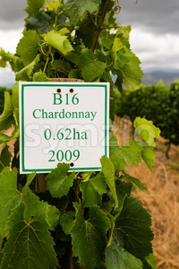 Youung Chardonnay grapes in wineyard Stock Photo