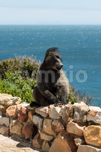 African Baboon having a bad hair day Stock Photo