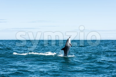 Dolphin shooting straight out of the water Stock Photo