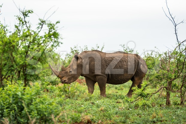 A white rhino grazing in an open field in South Africa Stock Photo