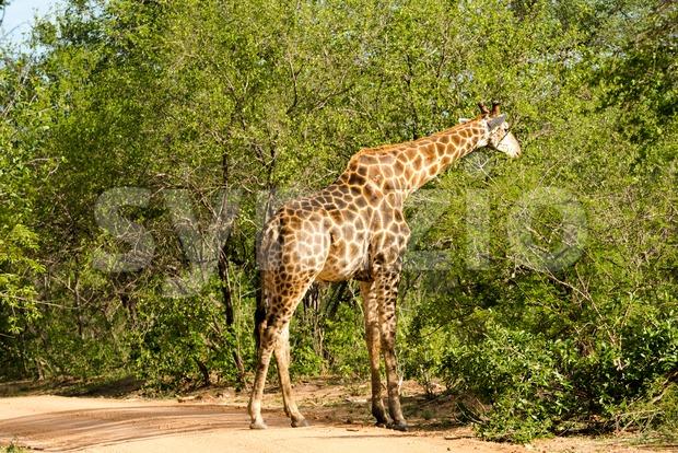 Giraffe grazing in the bush Stock Photo