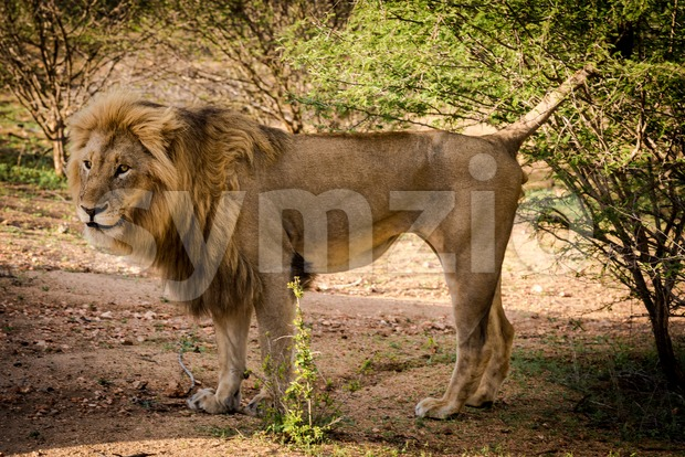 Side view of a Lion standing at sunrise at the Kruger National Park in South Africa.