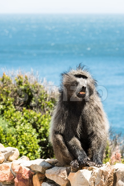 African Baboon showing its teeth Stock Photo