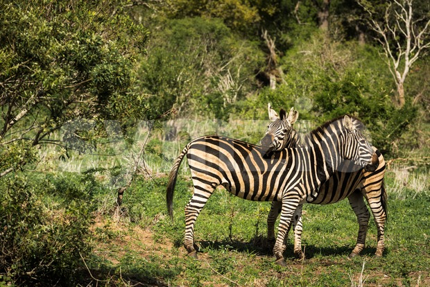 Love between two zebras Stock Photo