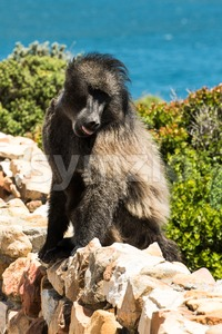 African Baboon showing its tongue Stock Photo