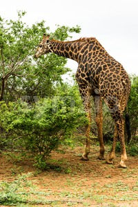 Giraffe grazing in the bush Stock Photo