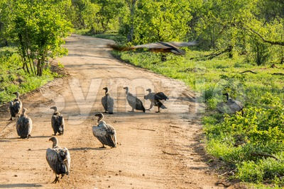 White-backed vultures waiting for carrion Stock Photo