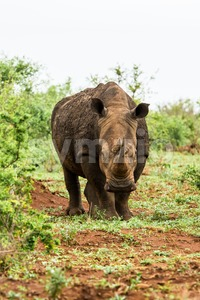 Portrait of white rhino in an open field in South Africa Stock Photo