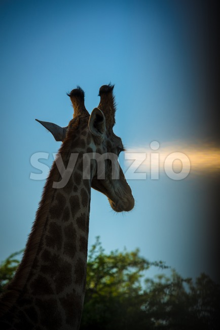 Giraffe head in sunset Stock Photo