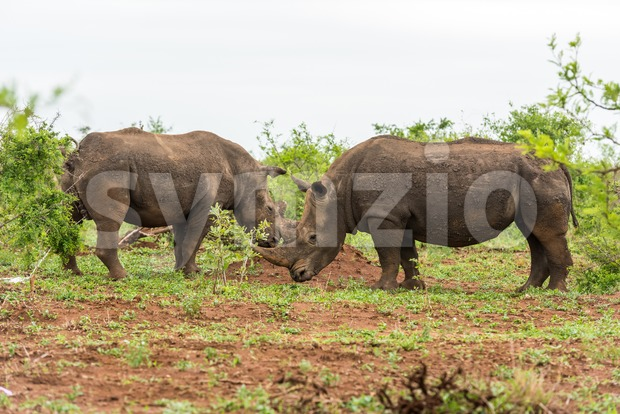 Two white rhinos grazing in an open field in South Africa Stock Photo