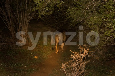 Male African Lion At Night Stock Photo