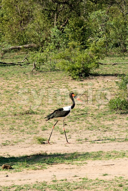 Saddle-billed Stork (Ephippiorhynchus senegalensis) Stock Photo