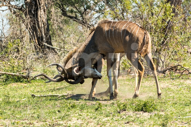Two male kudu antelope with horns intertwined in a fight for dominance