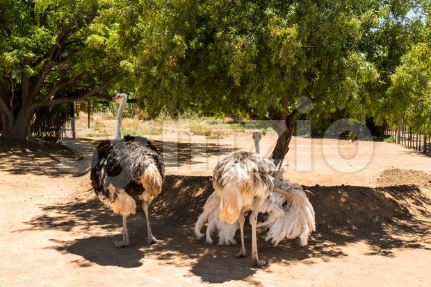 Ostrich couple (Struthio camelus) Stock Photo