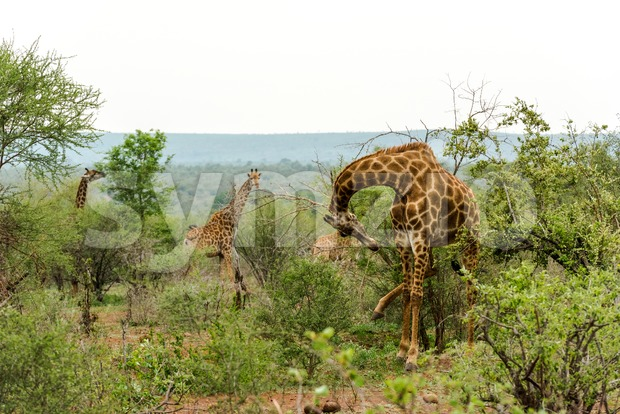 Giraffes feeding in the bush Stock Photo