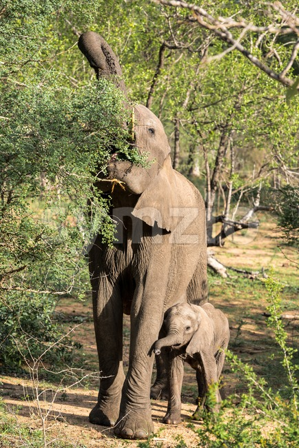 A young African elephant right next to a feeding adult one