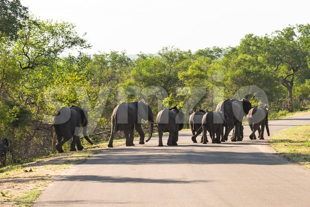 Big group of elephants crossing the road Stock Photo