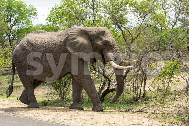 Big elephant feeding from a tree Stock Photo