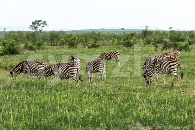 Herd of zebras in South Africa Stock Photo