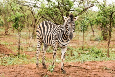 Lone zebra in the African bush Stock Photo
