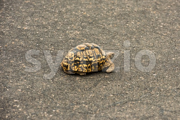 Leopard tortoise resting on a paved road Stock Photo