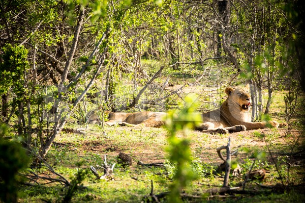 Two lionesses resting in the sun Stock Photo
