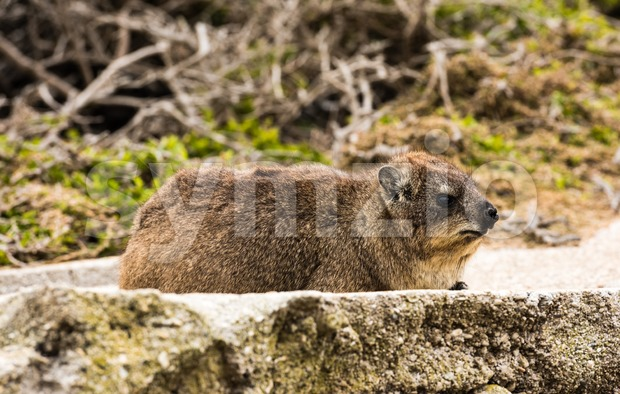 Rock hyrax or rock dassie on the rock near Cape Town, South Africa