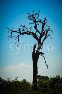 Old tree silhouette at sunset Stock Photo