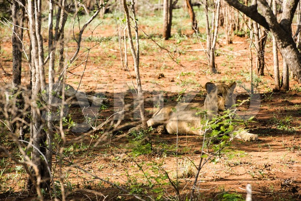 Lions resting in the shade Stock Photo